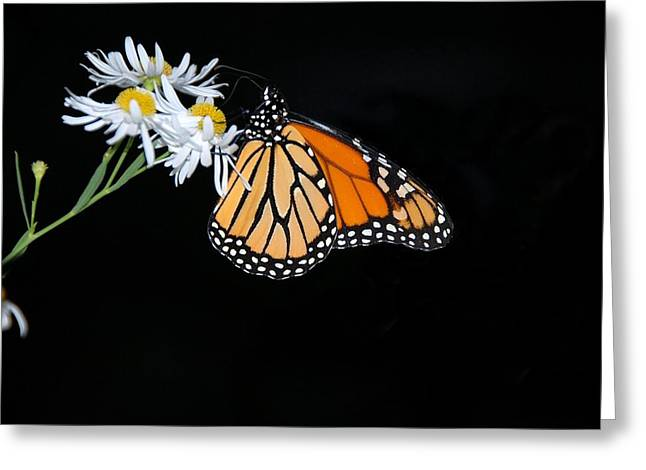 Monarch King Of Butterflies Greeting Card