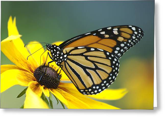 Monarch Greeting Card by Michael Peychich