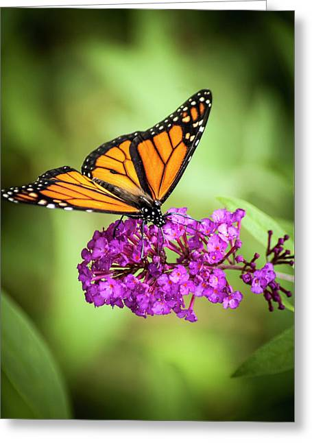 Greeting Card featuring the photograph Monarch Moth On Buddleias by Carolyn Marshall