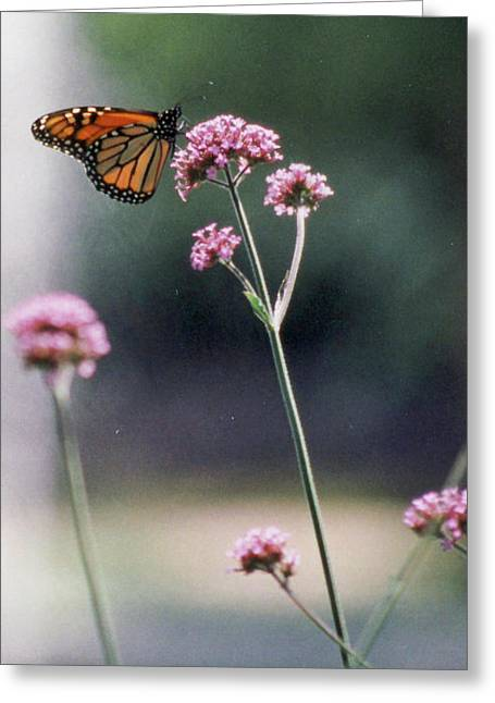 Monarch No. 7-1 Greeting Card