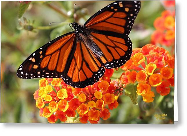 Monarch On 2 Flowers Greeting Card