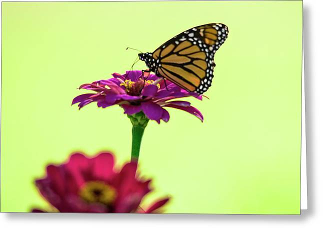 Monarch On A Zinnia Greeting Card