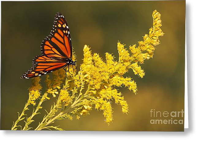 Monarch On Goldenrod Greeting Card