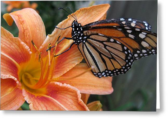 Monarch On Lily Greeting Card