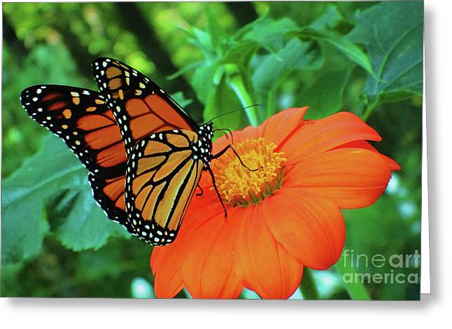 Monarch On Mexican Sunflower Greeting Card