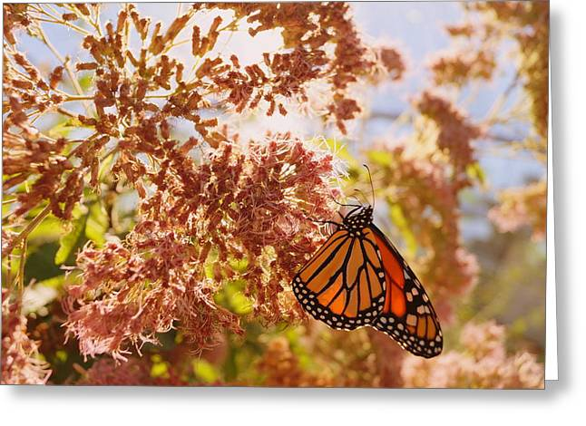 Monarch On Milkweed Greeting Card by Beth Collins