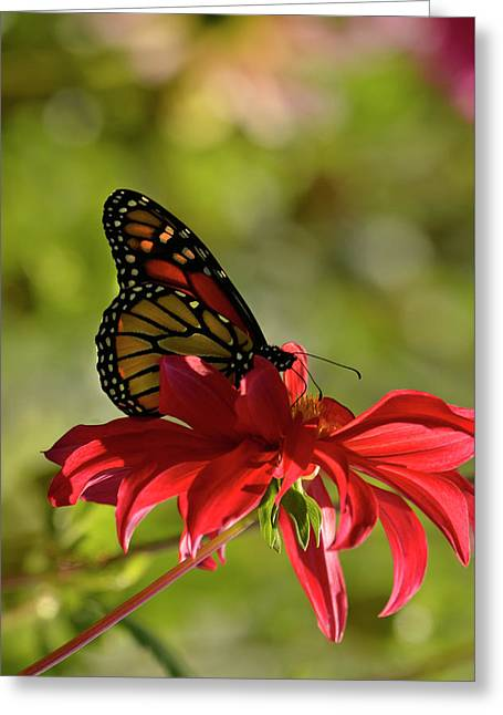Greeting Card featuring the photograph Monarch On Red Zinnia by Ann Bridges
