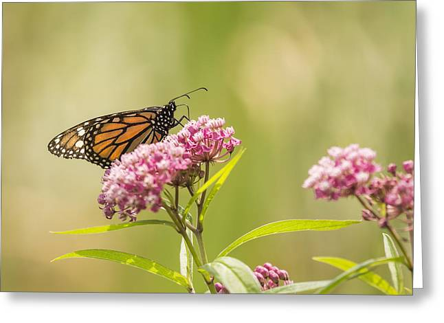 Monarch On Swamp Milkweed 2014-1 Greeting Card by Thomas Young