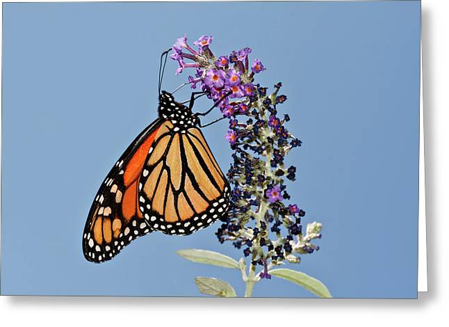 Greeting Card featuring the photograph Monarch Orange And Blue by Lara Ellis
