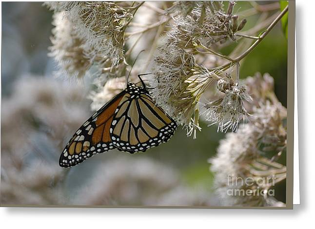 Monarch Pink Greeting Card