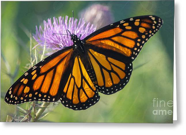 Monarch's Beauty Greeting Card