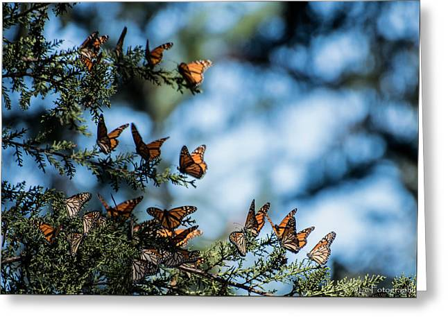 Monarchs In The Tree Greeting Card