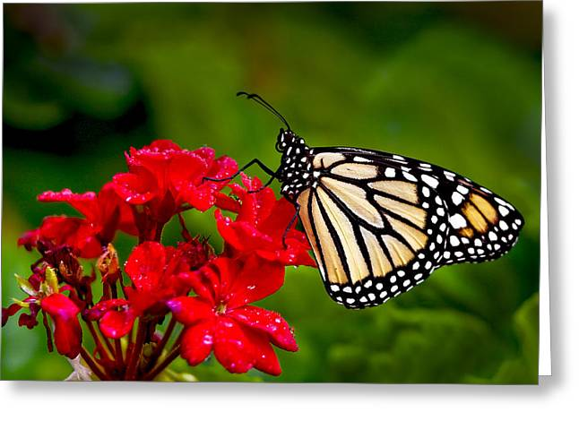 Monarh Butterfly Greeting Card