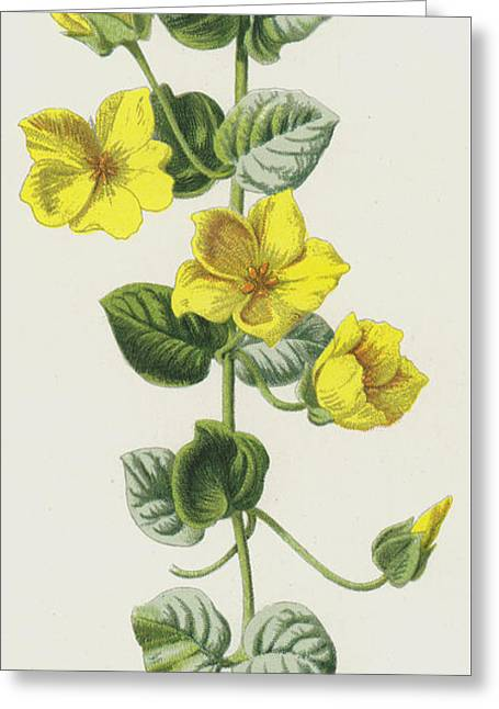Moneywort  Greeting Card by Frederick Edward Hulme