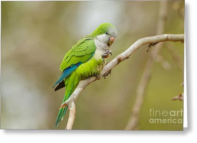 Monk Parakeet Greeting Card by B.G. Thomson