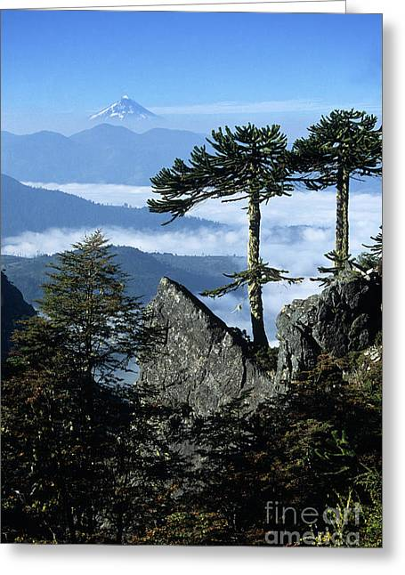 Monkey Puzzle Trees In Huerquehue National Park Greeting Card by James Brunker