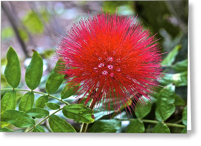 Monkeypod Flower Greeting Card