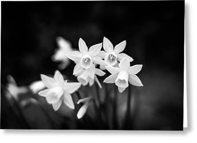 Monochrome Daffodils Greeting Card by Shelby Young