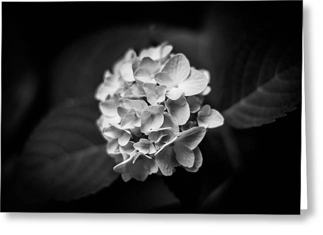 Monochrome Hydrangea Greeting Card by Shelby Young