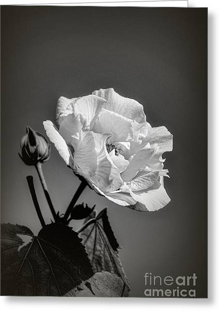 Greeting Card featuring the photograph Monochrome Rose Of Sharon by Elaine Teague