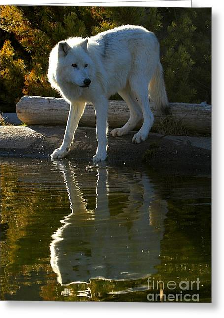 Montana Grey Wolf Reflections Greeting Card by Adam Jewell