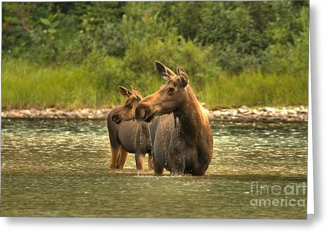 Montana Moose On The Lookout Greeting Card