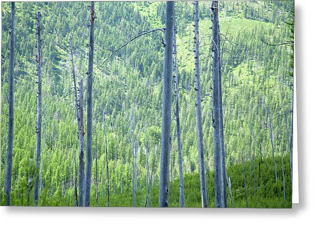 Montana Trees Greeting Card