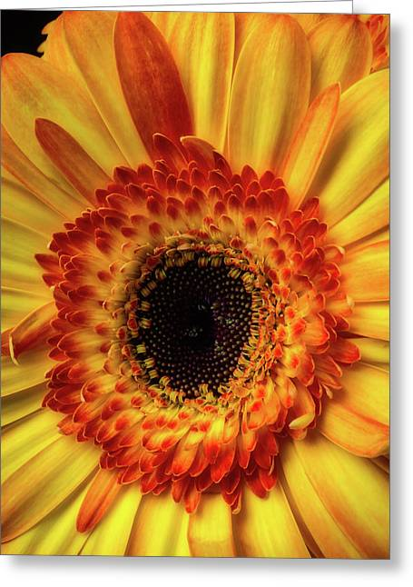 Moody Yellow Orange Gerbera Greeting Card by Garry Gay