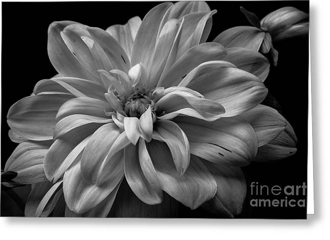 Greeting Card featuring the photograph Moonlit Dahlia by Chris Scroggins