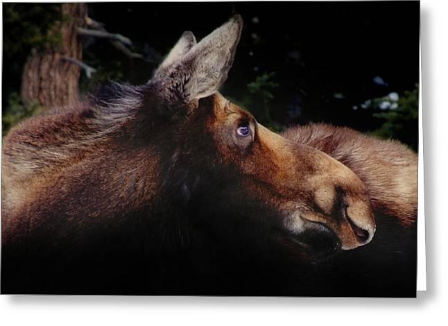 Moonlit Moose Greeting Card by Brian Gustafson
