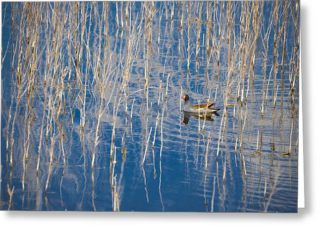Moorhen In The Reeds Greeting Card by Carolyn Marshall
