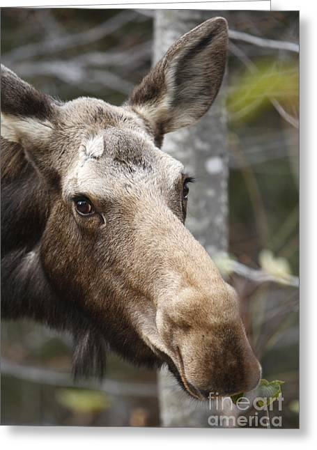 Moose - White Mountains New Hampshire Usa Greeting Card by Erin Paul Donovan
