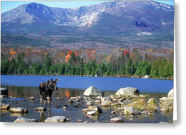 Moose And Mount Katahdin Greeting Card by John Burk