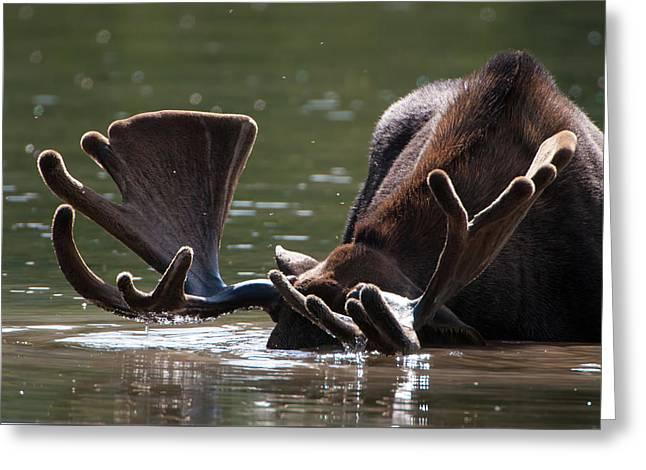 Moose Antlers Greeting Card