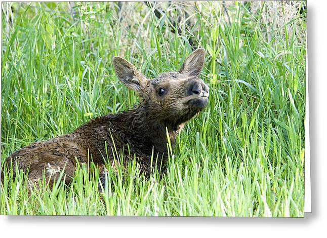 Moose Baby Greeting Card