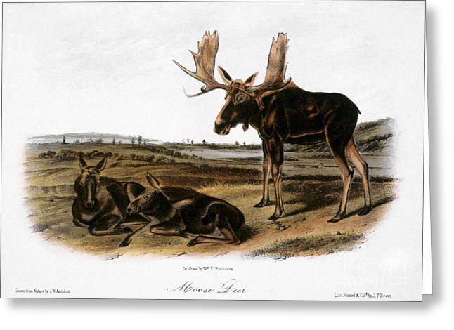 Moose Deer (cervus Alces) Greeting Card by Granger