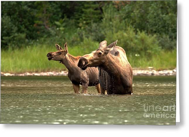 Moose Doubletake Greeting Card