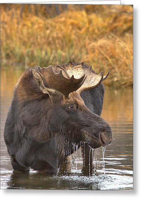 Moose Drool In The Wetlands Greeting Card