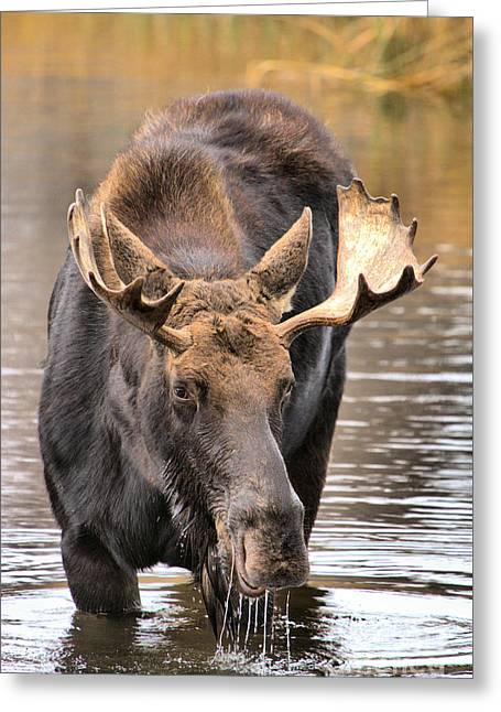 Moose Drool Shower Greeting Card by Adam Jewell