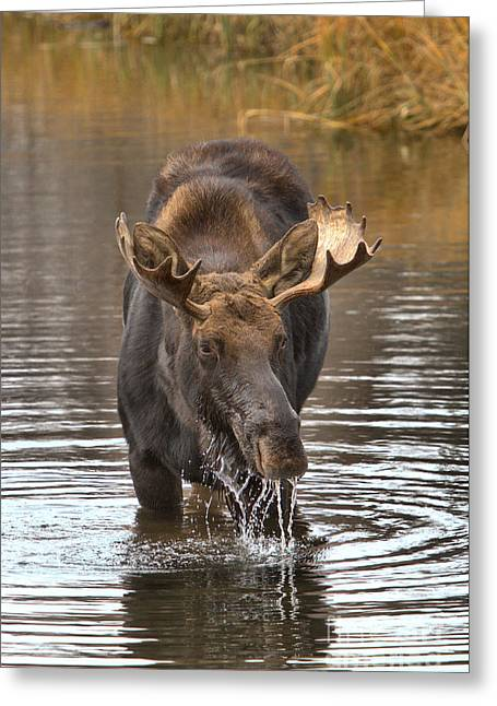 Moose Drools And Drips Greeting Card by Adam Jewell