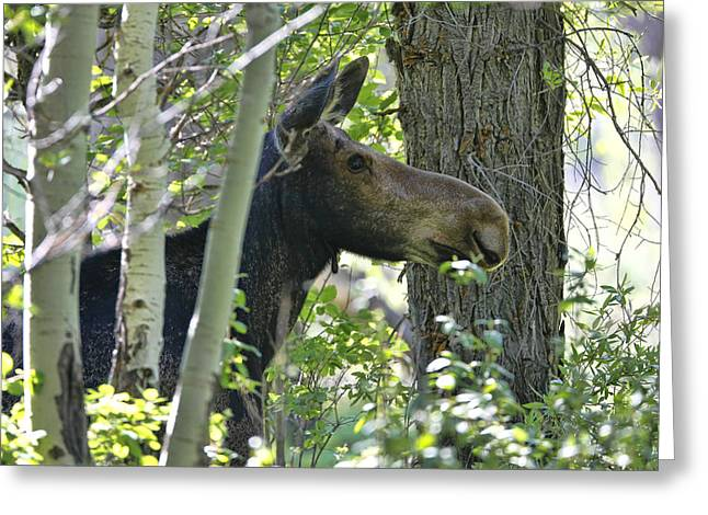 Moose Emerging From Aspen Trees Greeting Card