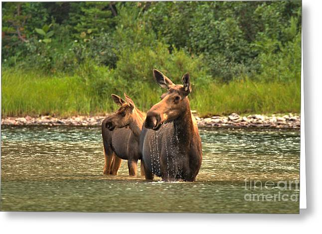 Moose Family On The Lookout Greeting Card