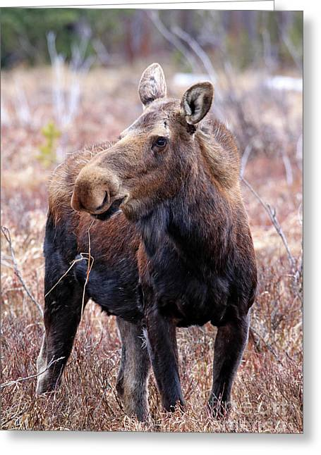 Moose In The Brush Greeting Card