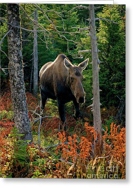 Moose In The Wild Greeting Card by Scott Kemper