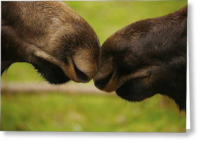 Moose Nuzzle Greeting Card