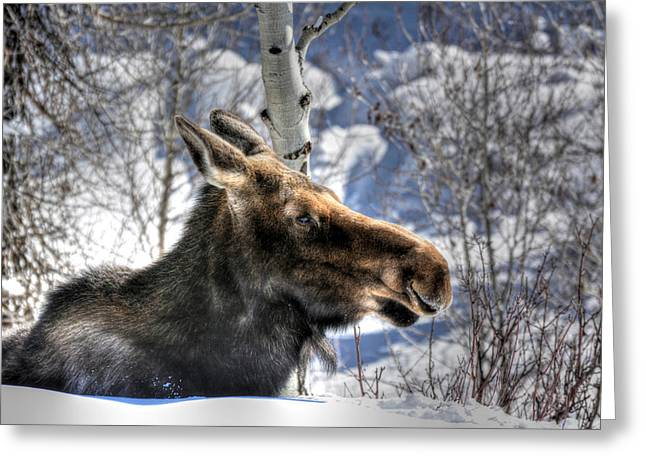 Moose On The Loose Greeting Card