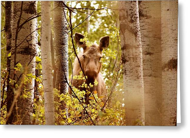 Moose Peek-a-boo Greeting Card by Adam Owen