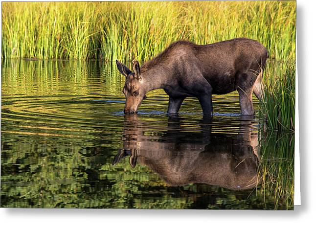 Greeting Card featuring the photograph Moose Reflections by Mary Hone