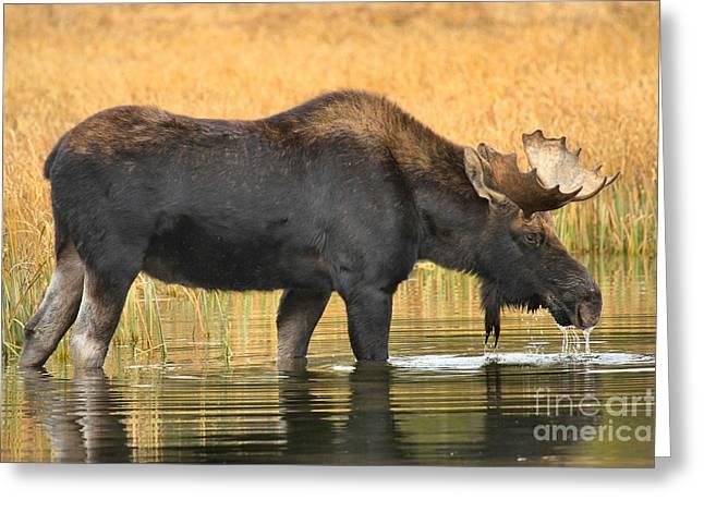 Moose Ripples Greeting Card