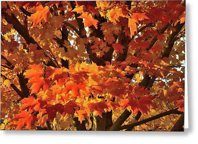 Greeting Card featuring the photograph Moraine Hills Sugar Maple by Ray Mathis